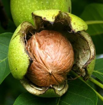Противогрибковые средства: Черный орех или грецкий орех